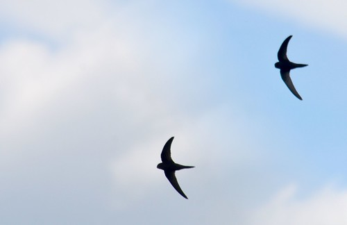 Swallow (composite)