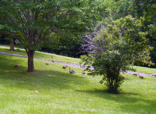 2014-06-21 - Geese - 0001 [flickr]