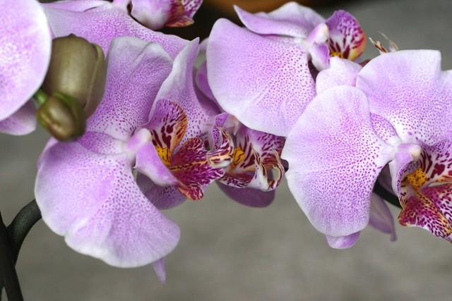 orquídea_10_20140522 - Version 2