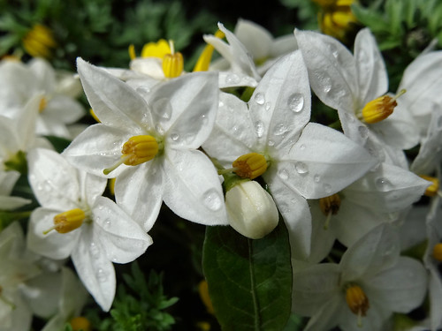 jasmine nightshade solanum jasminoides naturewatch nz. Black Bedroom Furniture Sets. Home Design Ideas