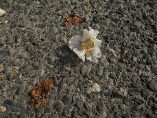 catalpa blossom glowing on road