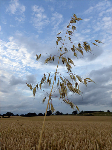 summer sky field grass clouds landscape straw crop restlessfiona 16thjuly2014