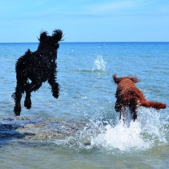 Nice HOT day for a #swim at the #beach with the #dogs at #sunsetpoint . #standardpoodle #goldendoodle #collingwood #ontario #loveit