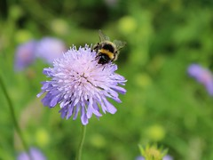 Bumble Bee & Cornflower