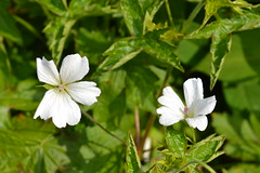 GERANIUM 'White Doves'