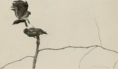 """Image from page 64 of """"The book of birds; common birds of town and country and American game birds"""" (1921)"""