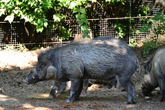 peccary(0.0), wildlife(0.0), animal(1.0), wild boar(1.0), zoo(1.0), domestic pig(1.0), pig(1.0), fauna(1.0), pig-like mammal(1.0),