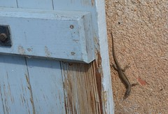 Lizard - Photo of Mouzon