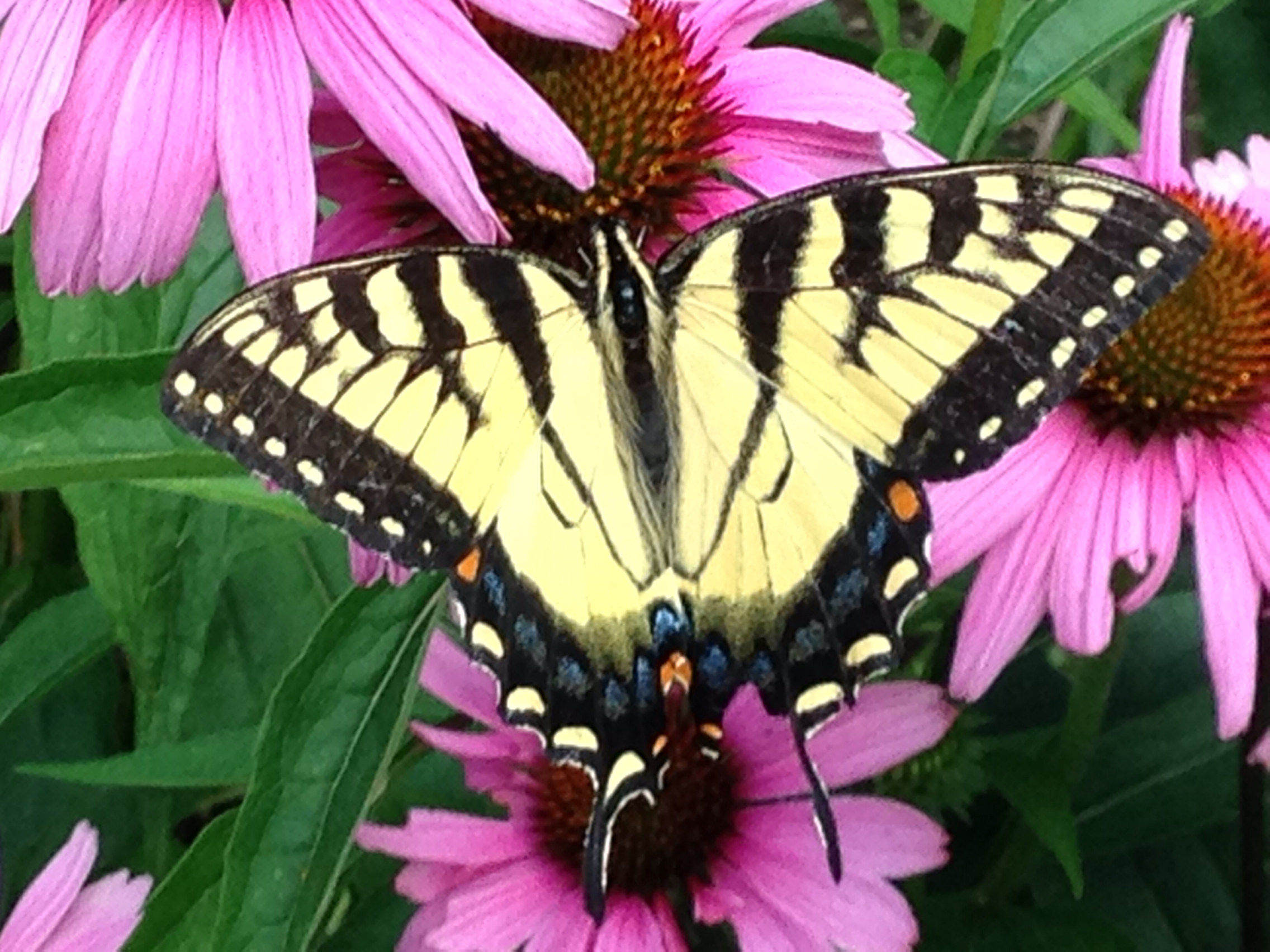 Eastern Tiger Swallowtail on Echinacea