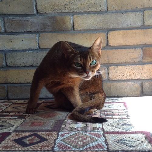 А умная Миуччия устроилась у кирпичной стенки старинного саманного домика, там самая прохлада))) #старыйкрым  #abyssinian