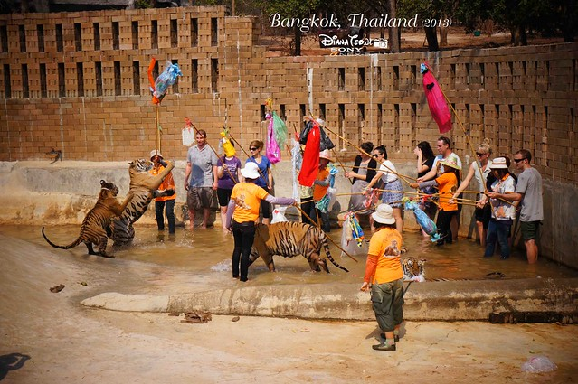 Kanchanaburi Tiger Temple  10