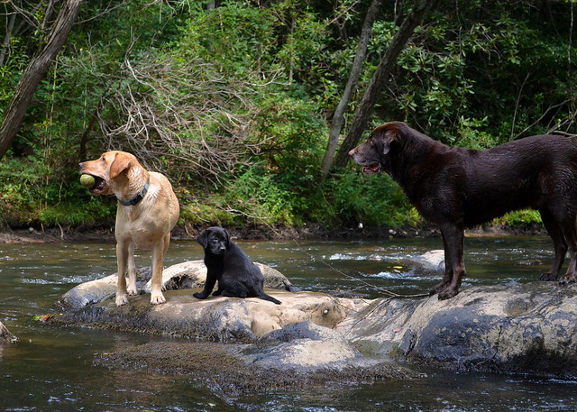 3 pups in the river