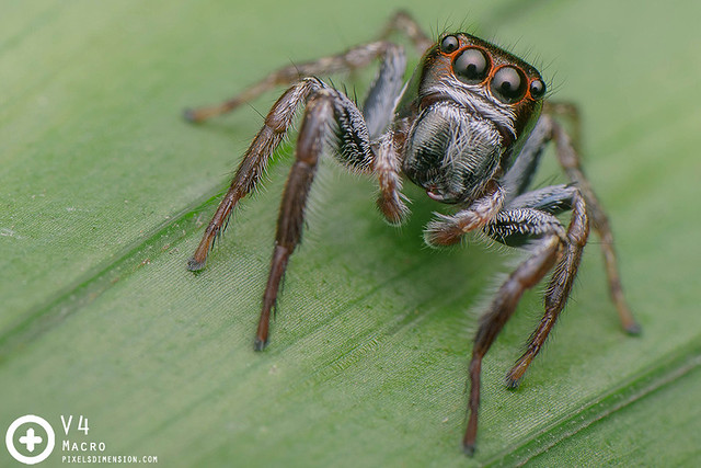 Unidentified Jumping Spider  ♂