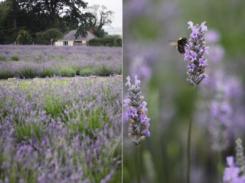 house lavender field