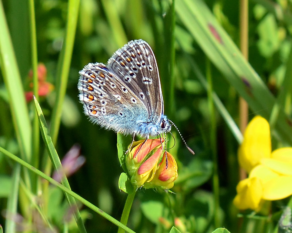 Common Blue (Carole's)