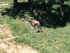 animal, giraffe, fauna, giraffidae, savanna, safari, wildlife,