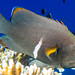 Small photo of Redmouth Grouper - Aethaloperca rogaa