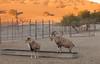 Barbary Sheep & Nubian Ibex
