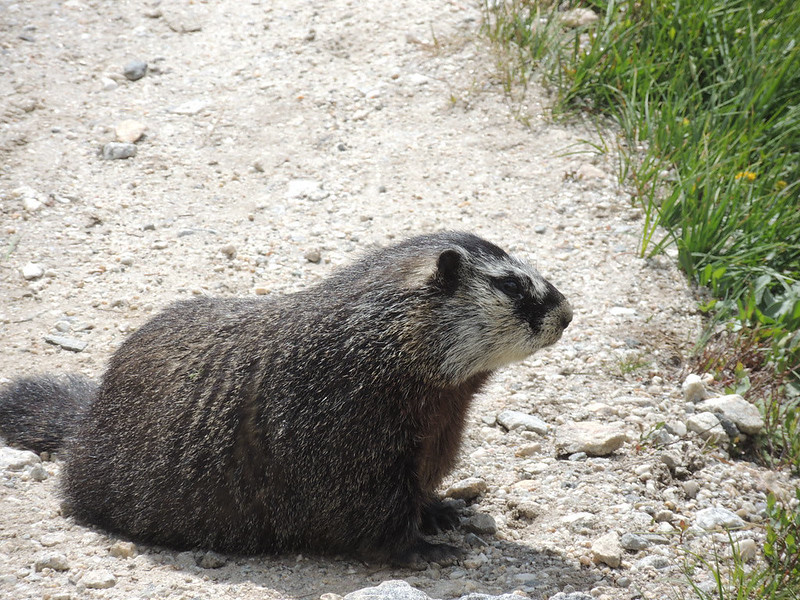 "Also known as the Marmot, or ""whistle-pig"""