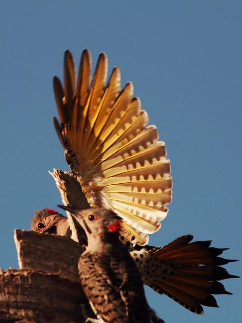 Northern Flicker males 20140908