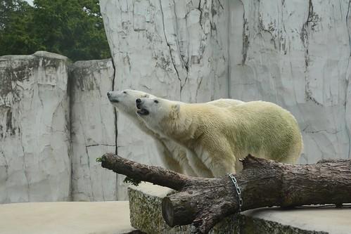 Eisbären Larissa und Nika im Zoo Karlsruhe