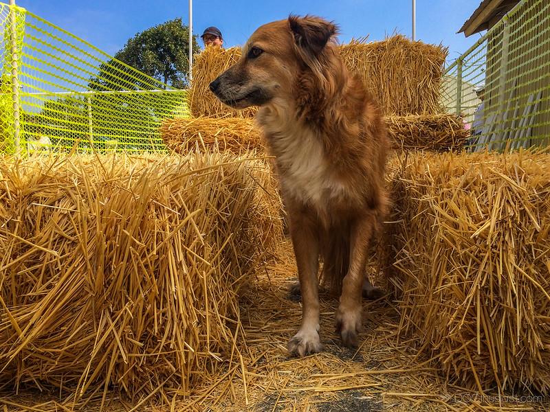 Tig went through a hay tunnel.