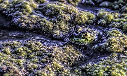 illinois wildlife frogs amphibians muck hdr hcs cookcountyforestpreserve nikkor18300mm clichesaturday busseforestnaturepreserve