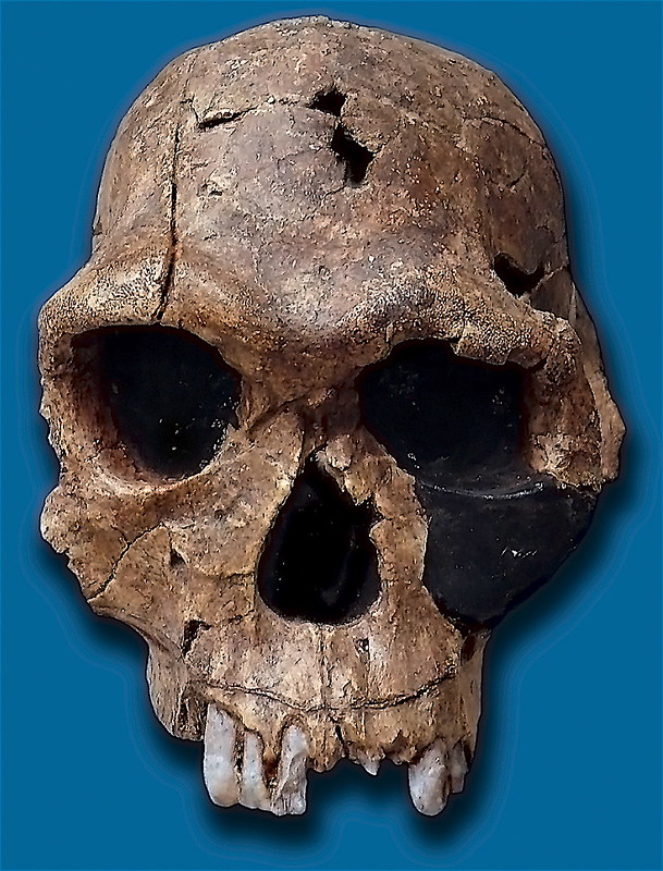 Skull of the species Homo habilis from Koobi Fora, Kenya