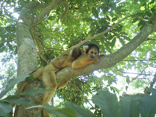 Yaimamura: Squirrel Monkey