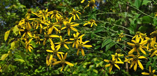 Helianthus angustifolius (1)