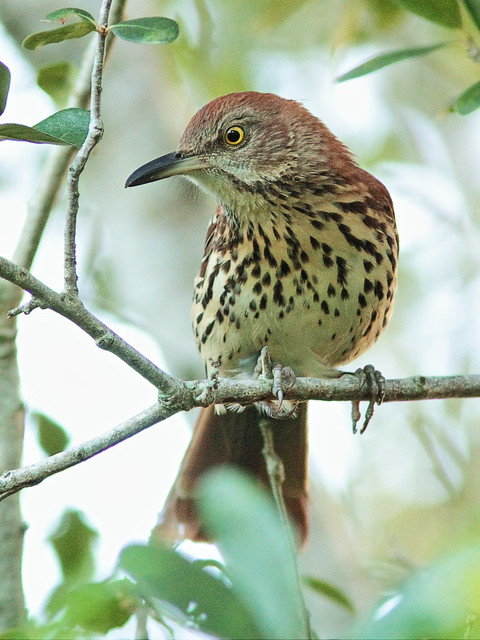 Brown Thrasher 5-20140908