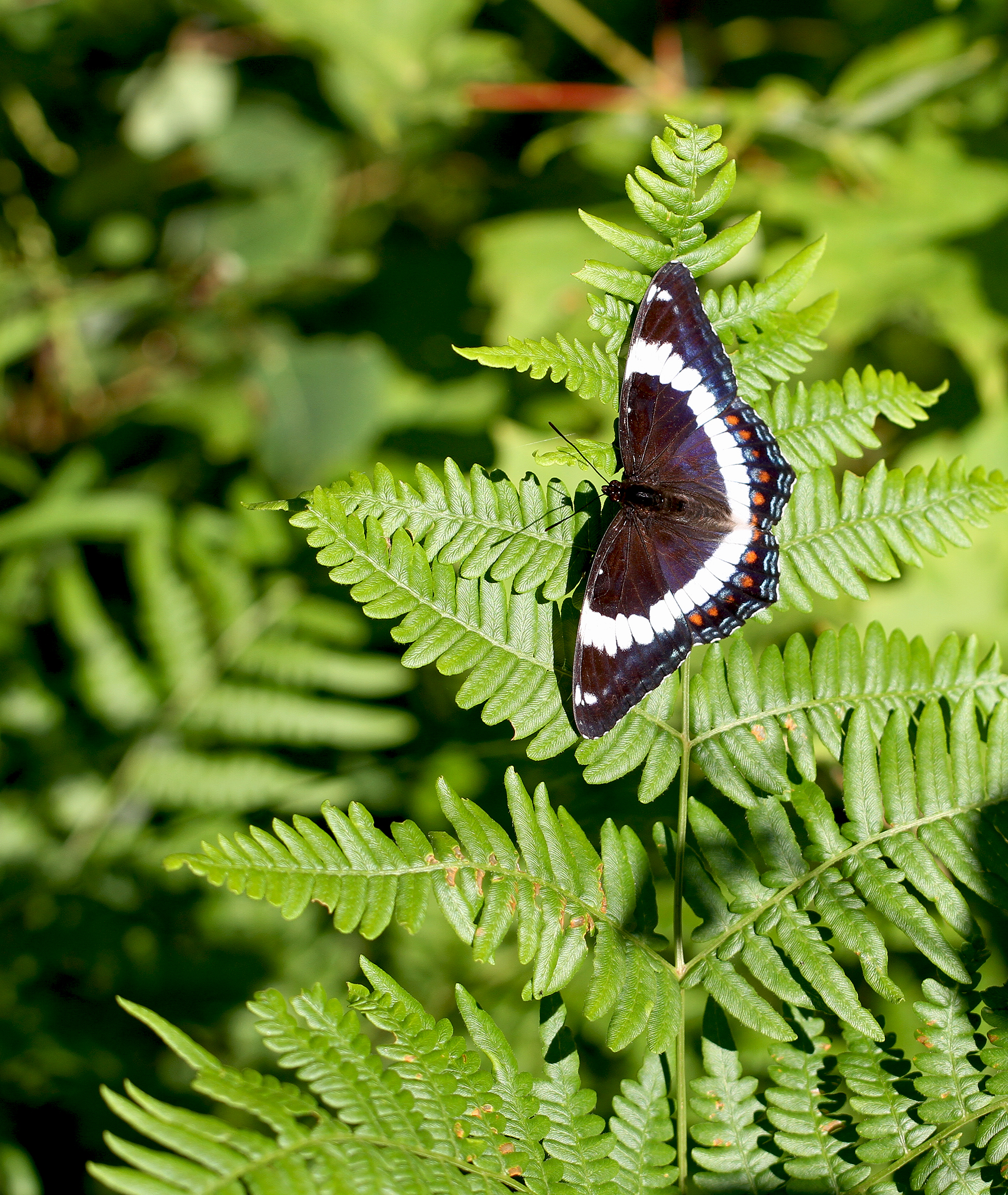 white admiral butterfly3