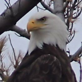 Bald Eagle portrait COREL2 20140930