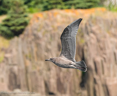 Shearwater in Flight