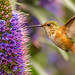 Allen's Hummingbird (Selasphorus sasin) on Pride of Madeira (Echium candicans) - Huntington Central Park by SARhounds