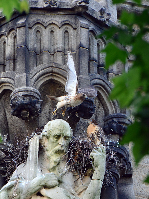 Cathedral Hawk Nestlings (1633)