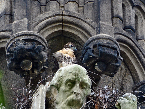 Cathedral Hawk Nestling (2156)