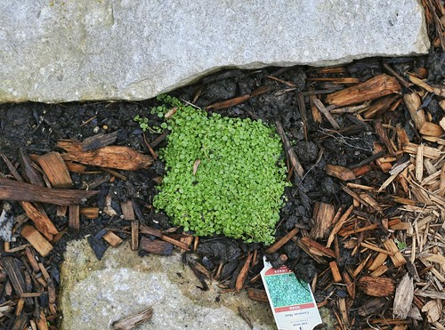 Garden Tour: Corsican Mint
