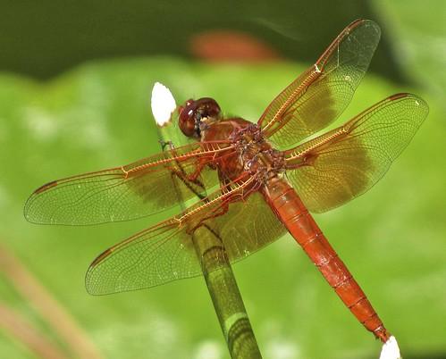 red naturaleza macro green nature insect skeleton wings dragonfly libelula glassy insecto