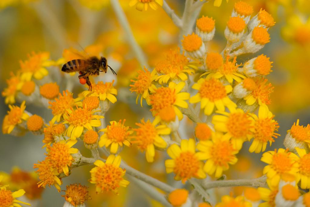 Un'ape impollinatrice