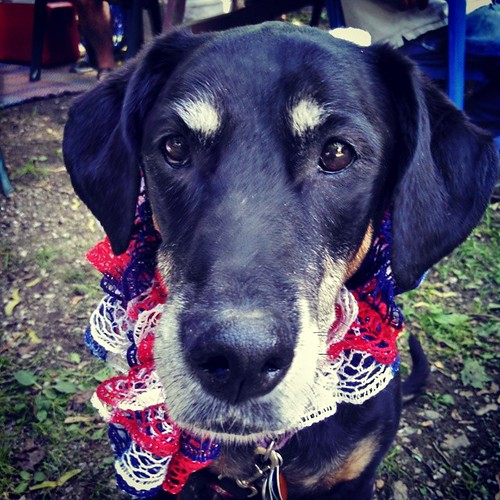 The birthday girl and her #fourthofjuly being #dogstagram #instadog #dobermanmix #redwhiteblue #happydog #seniordog #ilovemyseniordog