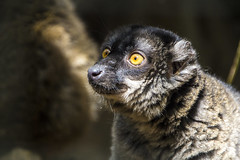 animal, primate, fauna, close-up, wildlife,