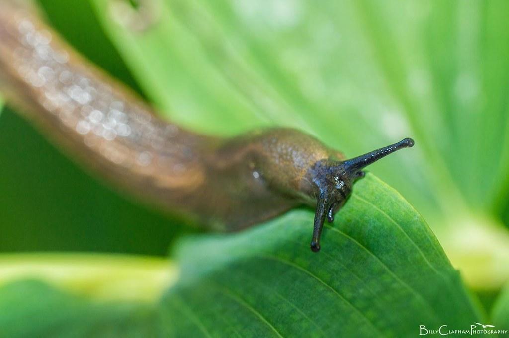 slug macro mollusc billy clapham Nikon d3200 Raynox DCR 250