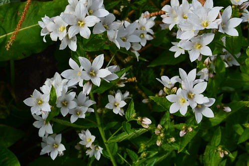 CAMPANULA lactiflora 'Alba'