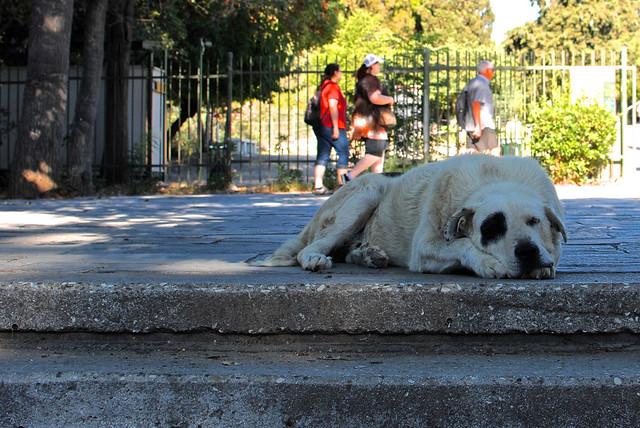 Acropolis Dog