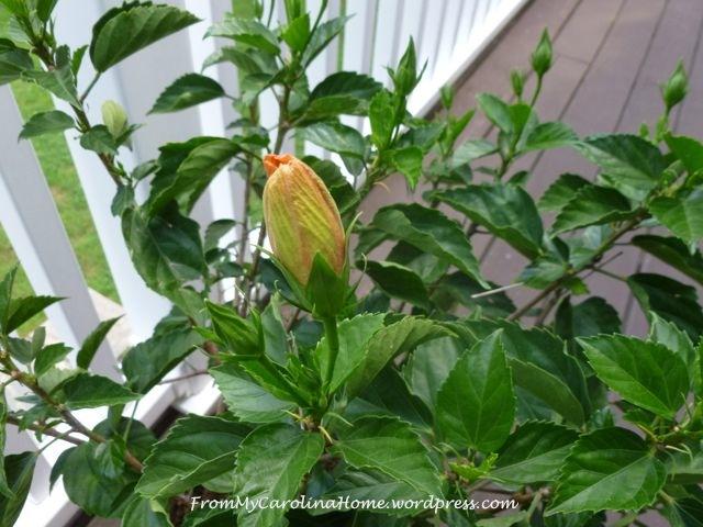 July1-hibiscus
