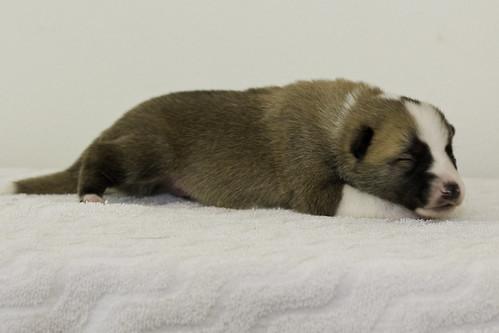Anya-Litter1-10Days-Puppy7(Male)d
