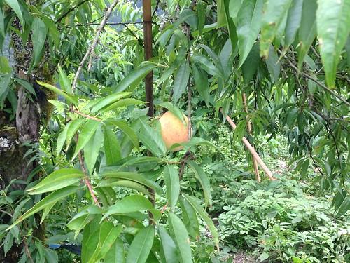 果園中的水蜜桃。