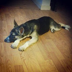 Tired puppy is tired. #shepsky #husky #germanshepherddog #GSD #puppy #puppygram #dogsofinstagram #dogstagram