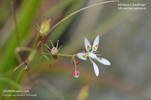 Michaux's Saxifrage, Mountain Saxifrage - Micranthes petiolaris